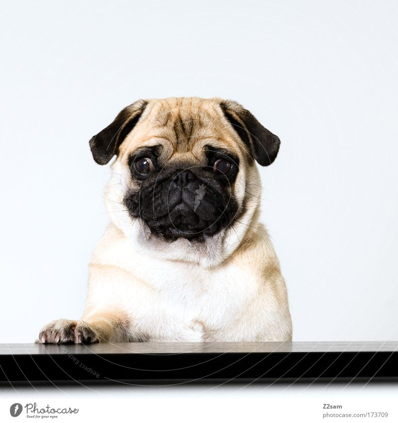 PAUL Colour photo Interior shot Flash photo Looking into the camera Pet Dog Crouch Cool (slang) Brash Hideous Beautiful Pug Speaker Lectern Paw Stand Sadness