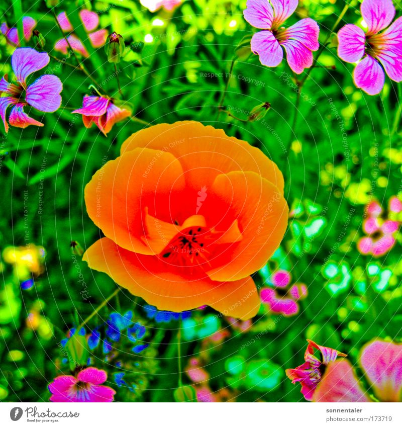 Nature Flower Green Plant Summer Meadow Blossom Grass Park Pink Environment Happiness Violet Transience Fragrance Poppy