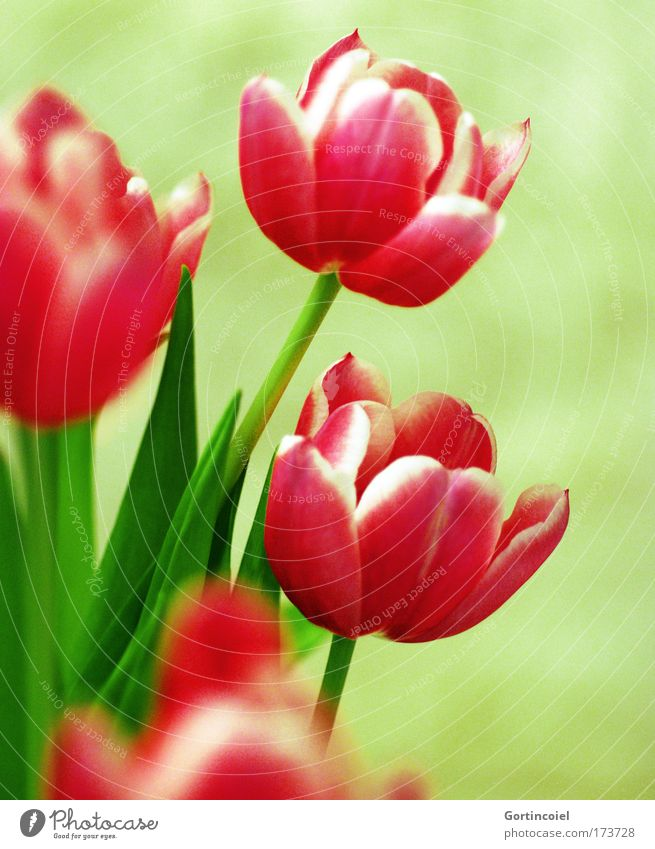 Nature Plant Beautiful Green Summer Red Flower Spring Blossom Pink Decoration Fresh Esthetic Stalk Bouquet Tulip