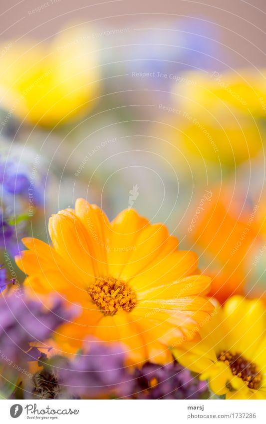 Ringel Ringel Floret Plant Spring Summer Flower Blossom Marigold Bouquet Multicoloured Glittering Beautiful Orange Joie de vivre (Vitality) Spring fever Power