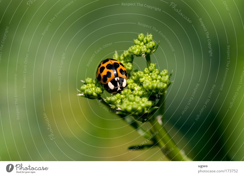 Ladybird on parsley Colour photo Exterior shot Macro (Extreme close-up) Day Central perspective Animal portrait Beetle Warm-heartedness Love of animals Calm