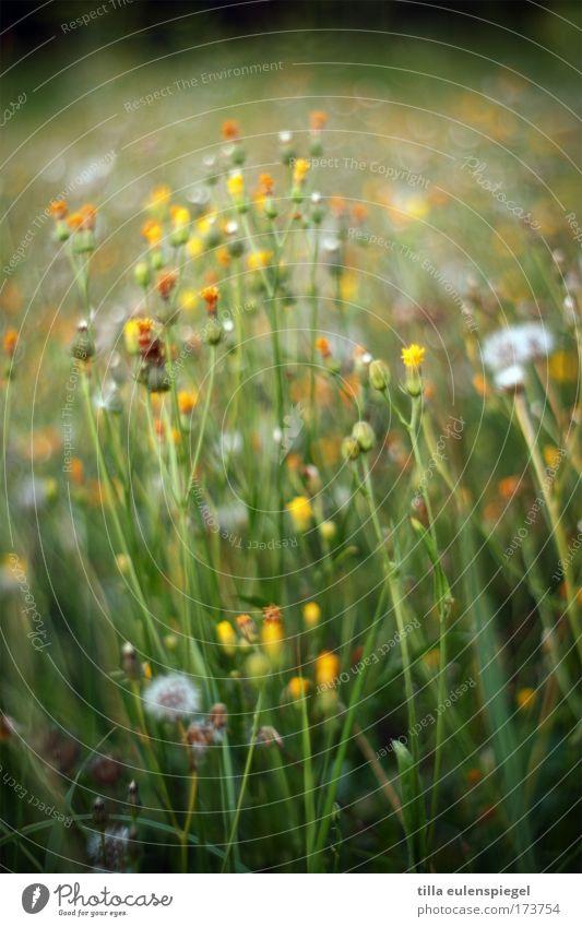 Nature Flower Green Summer Meadow Dream Natural Dandelion Summery