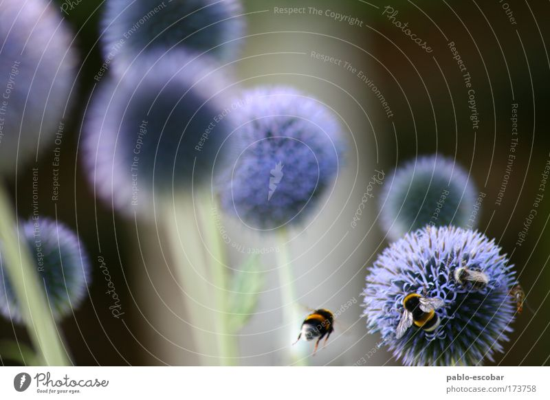 planetary system Colour photo Exterior shot Copy Space left Copy Space top Day Central perspective Environment Nature Summer Plant Flower Animal Wild animal Bee