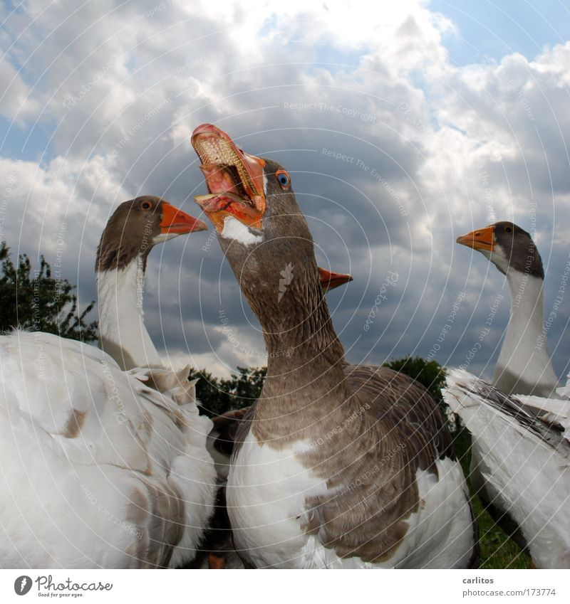 I've got a throat like this, my friend. Wide angle Animal portrait Meadow Village Pet Wing Goose Feather Poultry Group of animals Observe Looking Scream