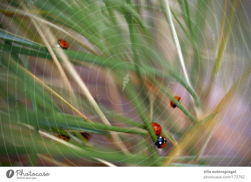 Beach Animal Group of animals Natural Beach dune Baltic Sea Ladybird Beetle Crawl Marram grass