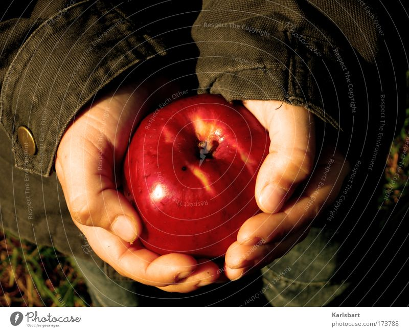 catching the apple during the process of falling. Food Fruit Apple Nutrition Organic produce Vegetarian diet Diet Skin Healthy Life Garden Thanksgiving
