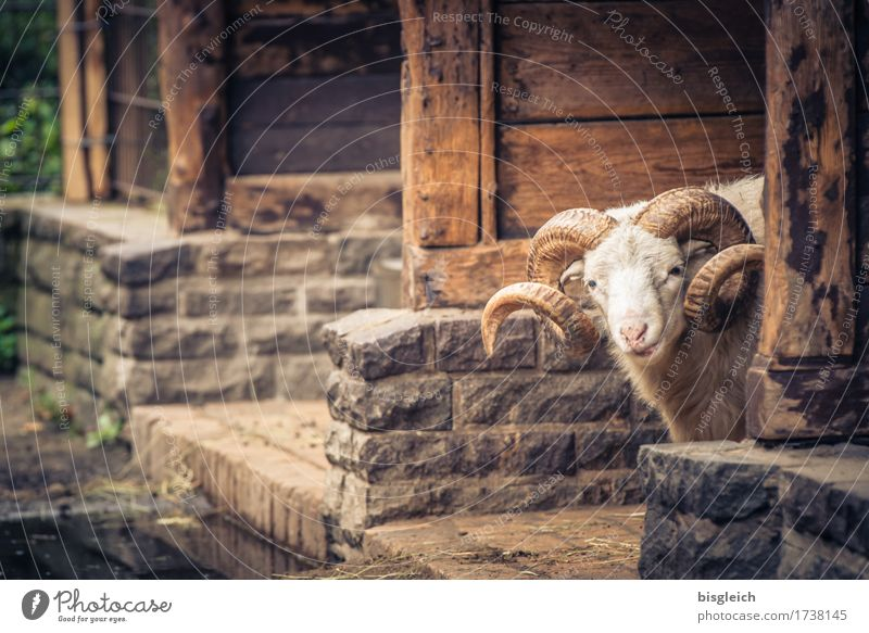 Are you looking?! Animal Pet Sheep Ram 1 Looking Brown Attentive Watchfulness Colour photo Exterior shot Day