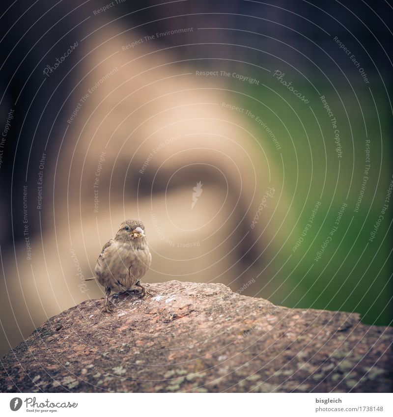 Another sparrow Animal Bird Sparrow 1 Looking Sit Small Brown Gray Green Colour photo Subdued colour Exterior shot Deserted Copy Space top Day