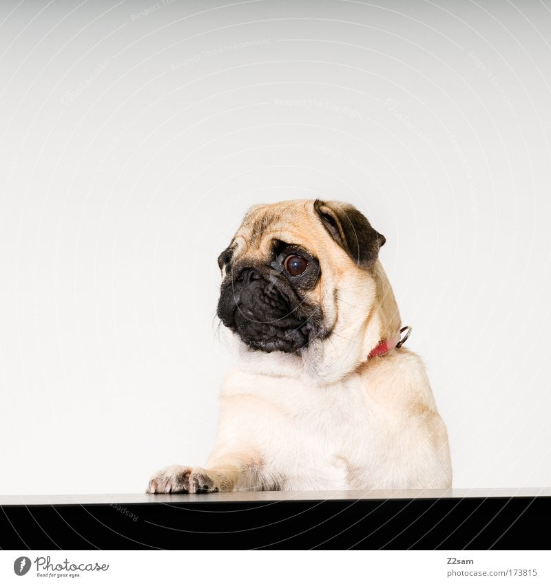 Beautiful Animal Emotions Dog Sadness Power Stand Brash Pet Paw Loyalty Pug Politics and state Elections Lectern Election campaign