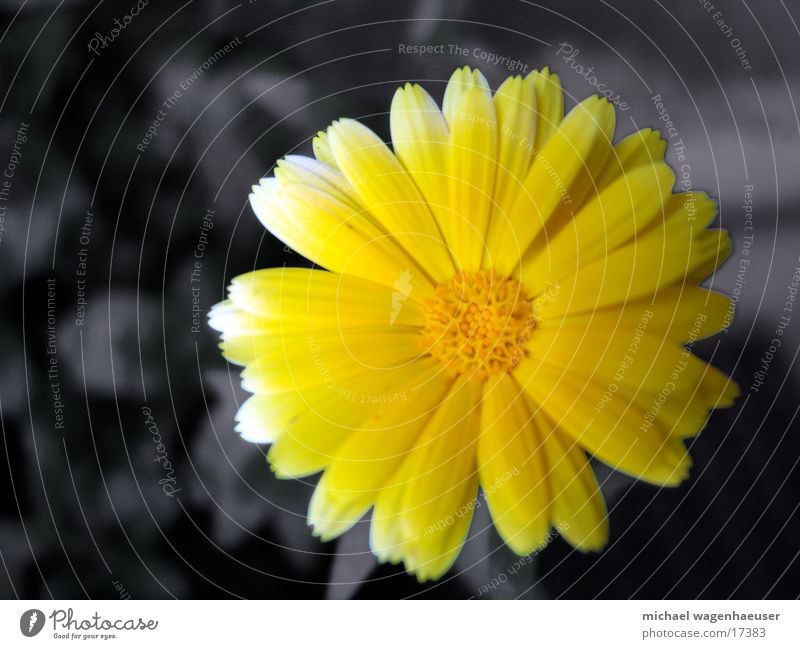 Nature Flower Yellow Gray