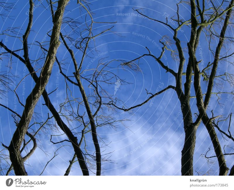 deciduous lot Colour photo Exterior shot Deserted Copy Space bottom Day Nature Plant Sky Clouds Tree Blue Brown White Branchage Twigs and branches clear cutting