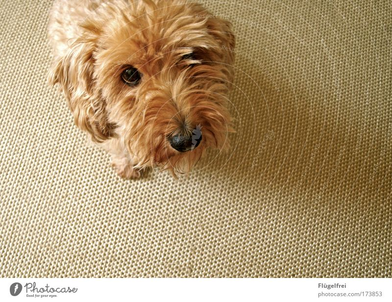 Just look sweet, maybe it'll work out. Animal Pet Dog 1 Calm Beg snub nose Puppydog eyes Sweet rough-haired dachshund Ear Curiosity Carpet Beige Button eyes
