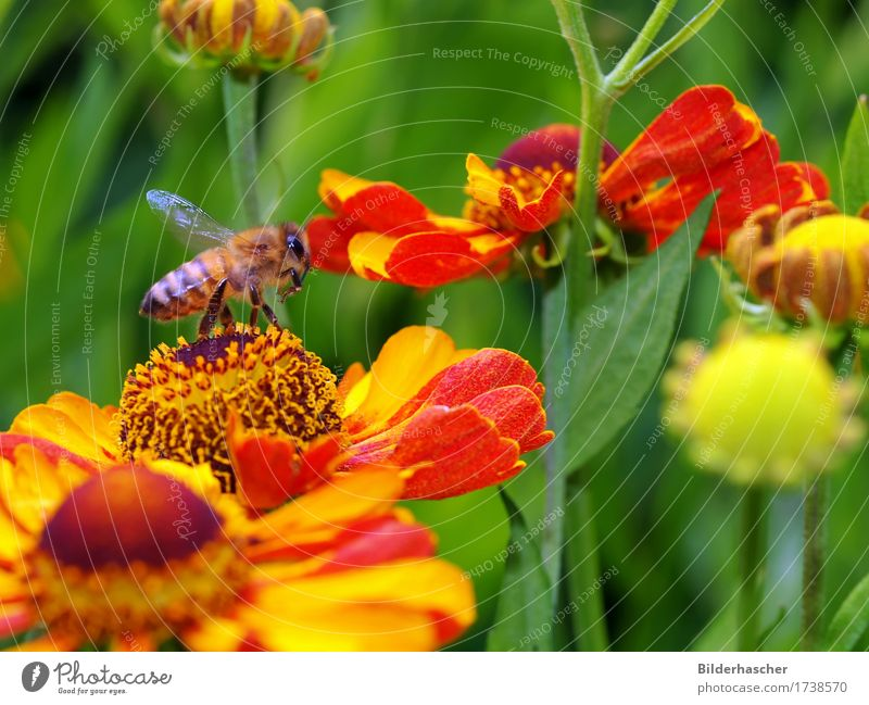 Nature Plant Summer Flower Yellow Blossom Garden Hair Illuminate Wild animal Wing Blossoming Insect Bee Sunflower Pollen