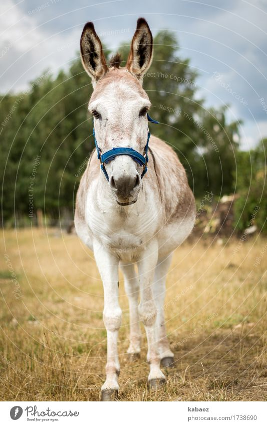 ass Animal Farm animal Donkey 1 Going Brash Cute Contentment Bravery Willpower Trust Timidity Adventure Colour photo Exterior shot Copy Space left