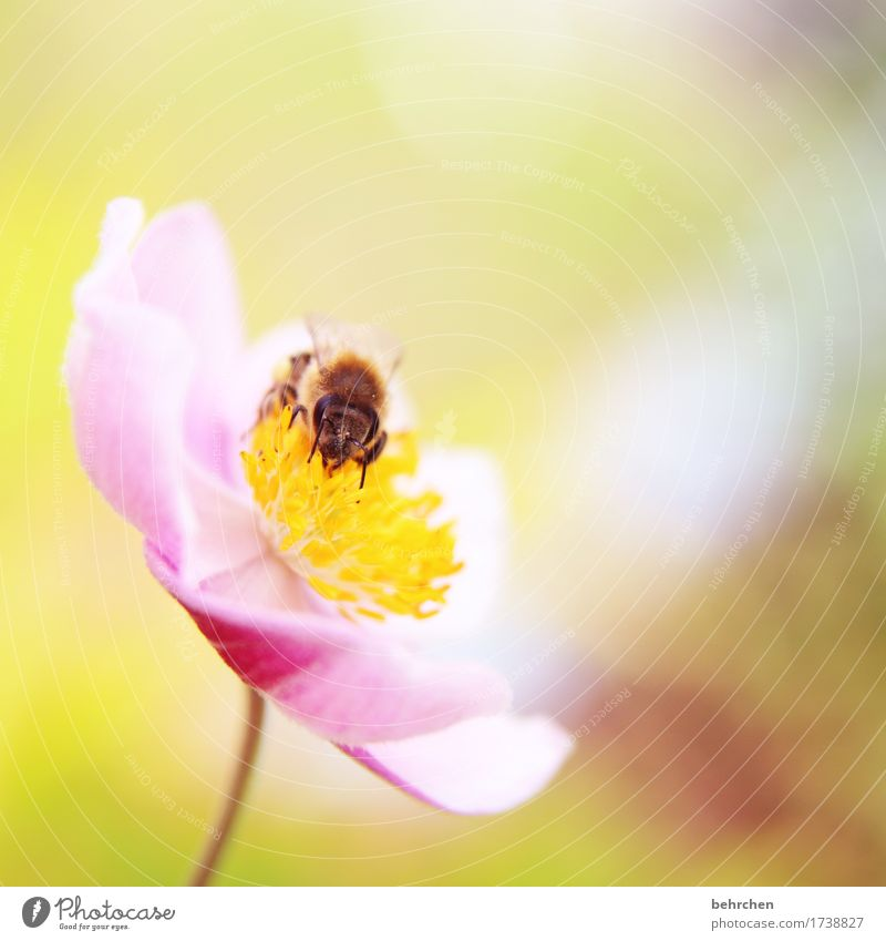 monk on Nature Plant Animal Summer Beautiful weather Flower Leaf Blossom Chinese Anemone Garden Park Meadow Wild animal Bee Animal face Wing 1 Blossoming