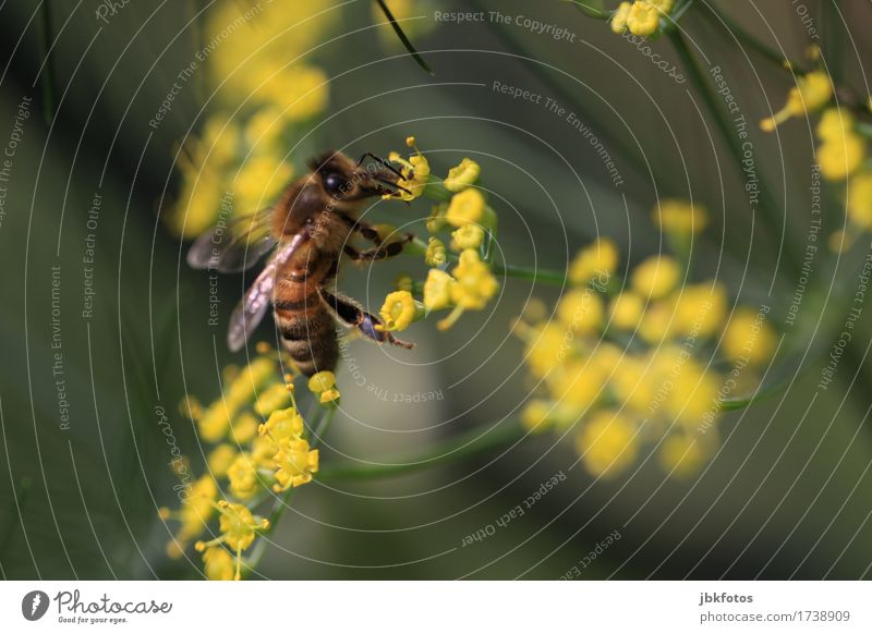 Bee on fennel blossom Food Nutrition Environment Nature Animal Summer Bad weather Plant Flower Blossom Garden Farm animal Wild animal Animal face Wing 1