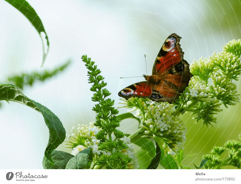butterflies Environment Plant Animal Spring Summer Bushes Buddleja Park Butterfly Peacock butterfly 1 Sit Free Friendliness Beautiful Natural Green Moody