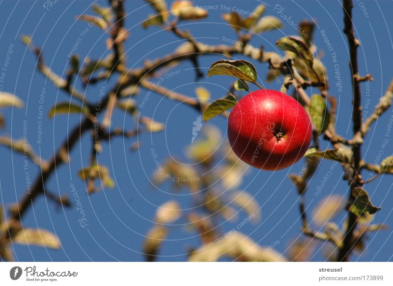 Nature Beautiful Tree Summer Red Plant Life Above Garden Healthy Contentment Fruit Natural Food Nutrition Apple
