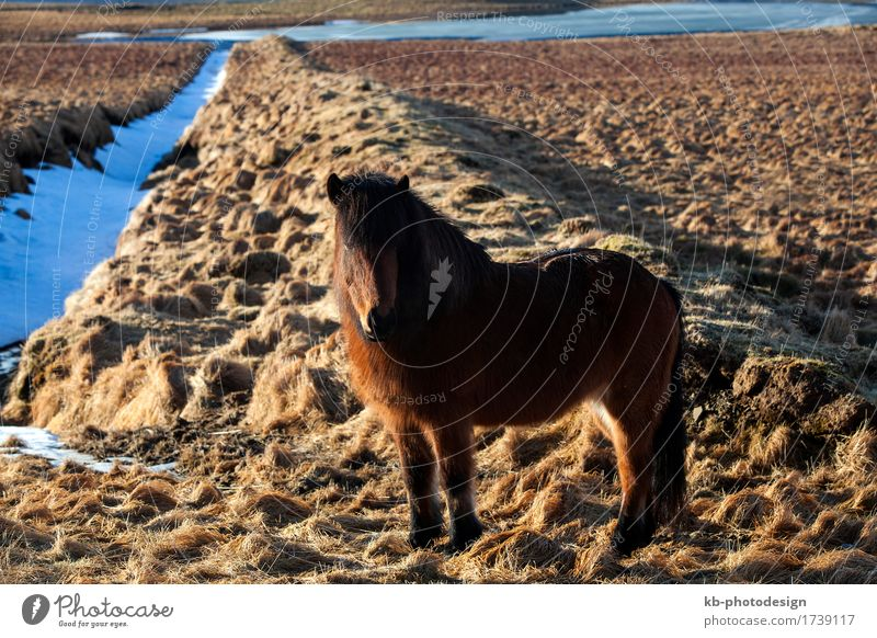 Brown Icelandic pony on a meadow in Iceland Vacation & Travel Tourism Adventure Far-off places Winter Winter vacation Horse 1 Animal Jump Iceland pony