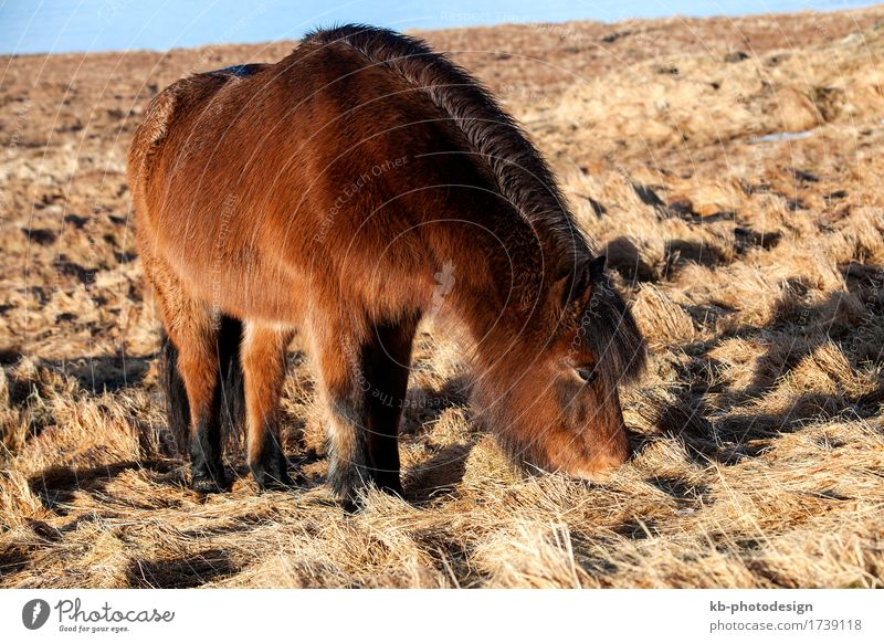 Brown Icelandic pony on a meadow in Iceland Vacation & Travel Tourism Adventure Far-off places Horse Iceland pony Iceland ponies brown Bangs ride horses animal