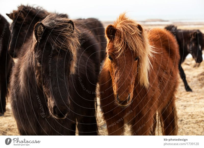 Herd of Icelandic ponies Vacation & Travel Tourism Adventure Far-off places Horse 2 Animal Iceland pony Iceland ponies brown mane Bangs ride horses mammal Wild