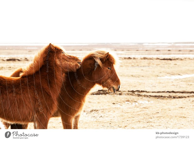 Portrait of two brown Icelandic Vacation & Travel Adventure Horse 2 Animal Stove & Oven Iceland pony Iceland ponies mane Bangs ride horses mammal breeding race
