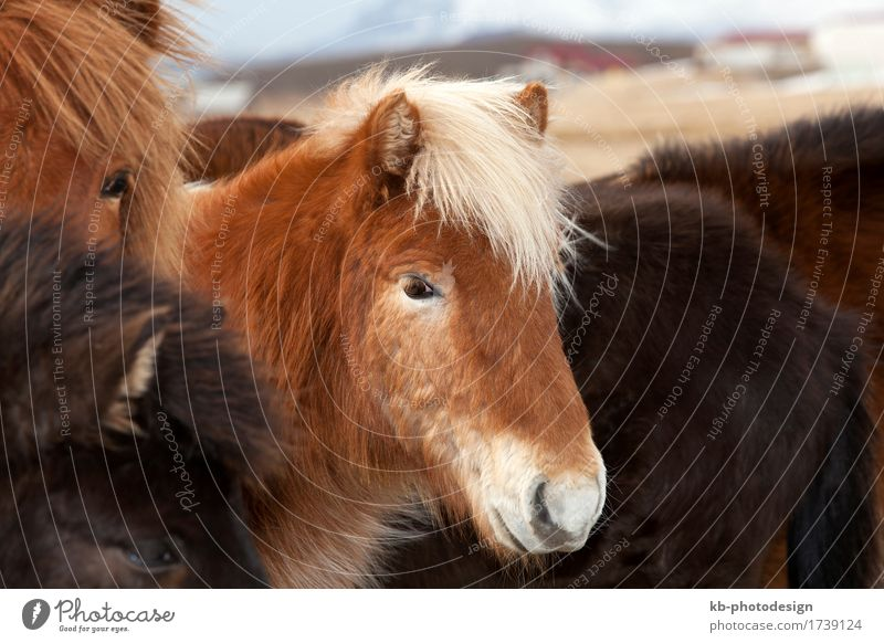 Icelandic horse with blond mane in a herd Vacation & Travel Tourism Adventure Winter Horse Herd Painting (action, work) Iceland pony Iceland ponies Icelander