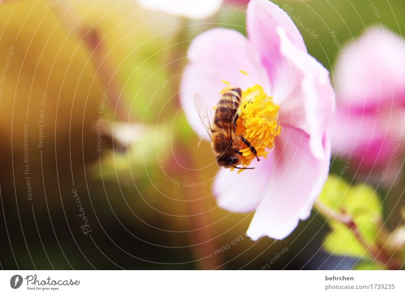 spring fever Nature Plant Animal Summer Beautiful weather Flower Leaf Blossom Chinese Anemone Garden Park Meadow Wild animal Bee Animal face Wing 1 Observe