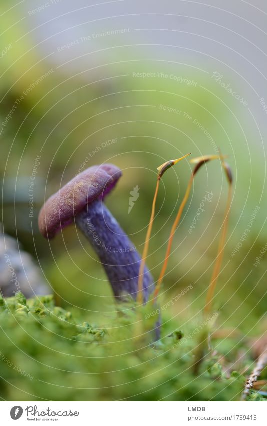 Purple mushroom and the three moss animals Environment Nature Plant Earth Autumn Moss Forest Green Violet Mushroom Woodground Small Seldom Damp Mushroom picker