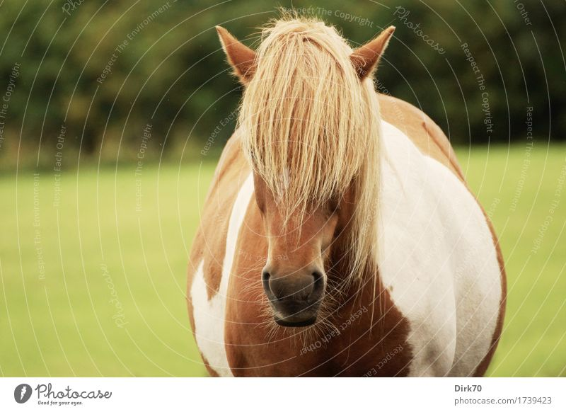 A lot of pony! Leisure and hobbies Ride Keeping of animals Grass Meadow Pasture Denmark Bangs Animal Pet Farm animal Horse Pony Iceland Pony Mane Blonde Pinto 1