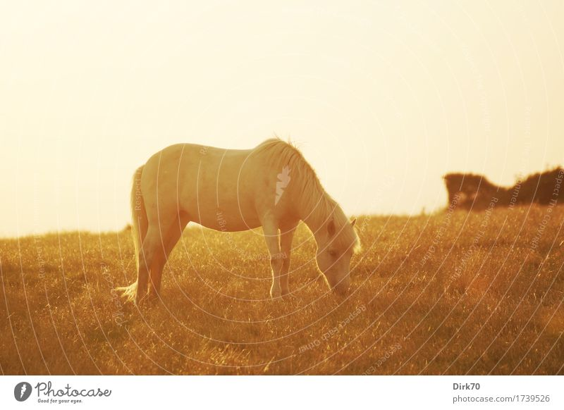 Graze peacefully at sunset. Ride Livestock breeding Riding stable Nature Sunrise Sunset Sunlight Summer Beautiful weather Warmth Grass Bushes Meadow Pasture