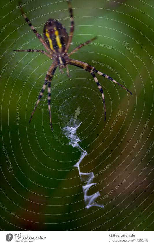 tiger spider Environment Nature Landscape Animal Wild animal Spider 1 Wait Aggression Exceptional Threat Dark Creepy Small Green Net Thief Spider's web