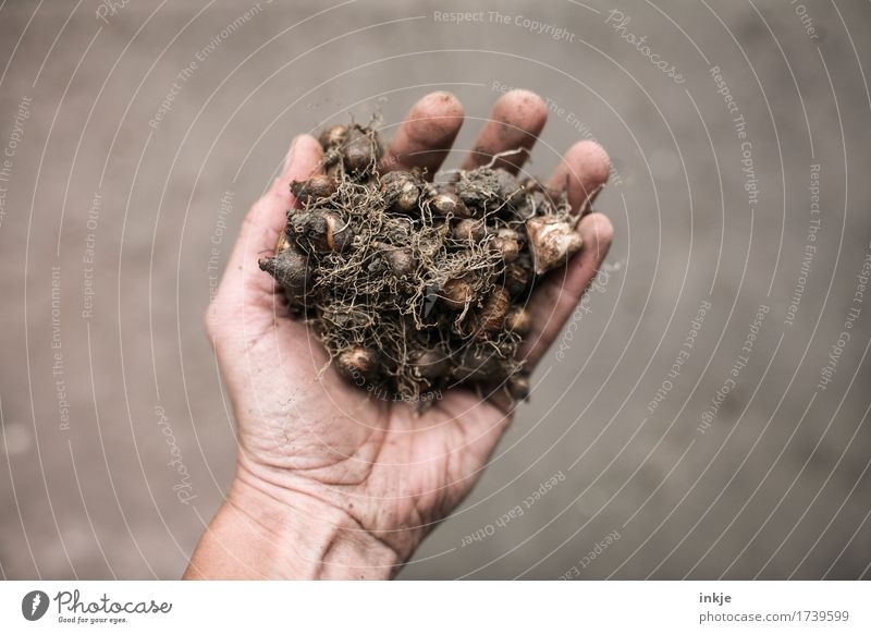 Blossoms colourful Gardening Hand 1 Human being Spring Summer Autumn Bulb flowers To hold on Dirty Small Many Brown Indicate Heap Simple Colour photo