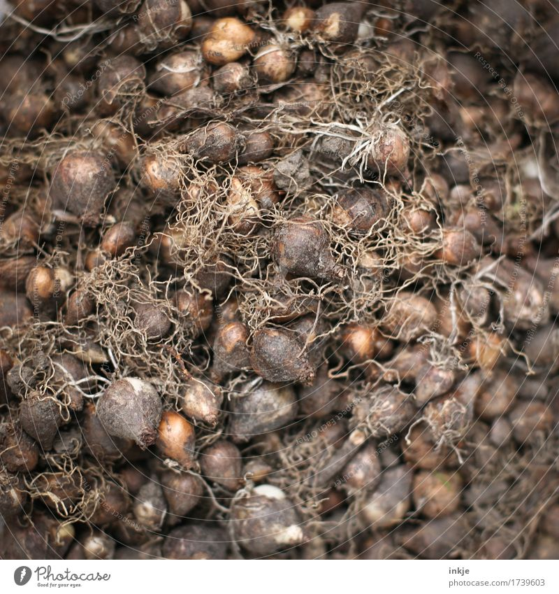 flower bulbs Spring Summer Autumn Bulb flowers Many Brown Nature Pure Heap Accumulate Full Gardening Dry Colour photo Exterior shot Close-up