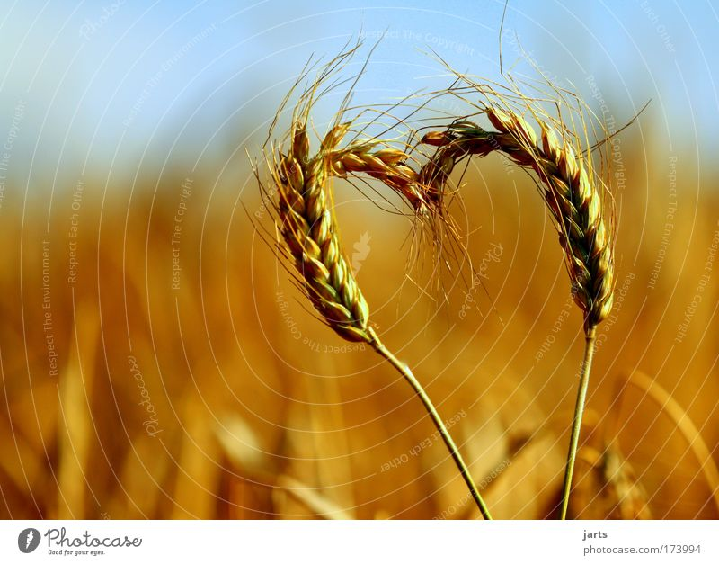 more nature love Food Grain Dough Baked goods Environment Nature Summer Beautiful weather Agricultural crop Field Fresh Healthy Natural Love Serene Calm