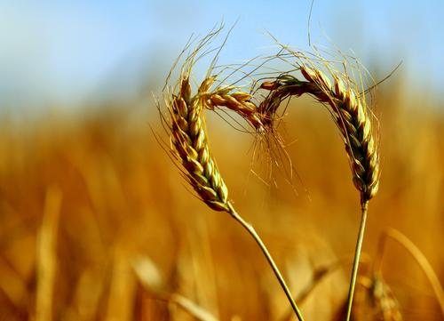 Nature Agriculture Summer Calm Environment Love Healthy Field Natural Food Fresh Beautiful weather Grain Serene