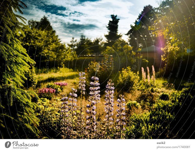 fragrance garden Environment Nature Landscape Plant Sky Clouds Spring Climate Beautiful weather Tree Flower Grass Bushes Leaf Blossom Lupin Lupin blossom Garden