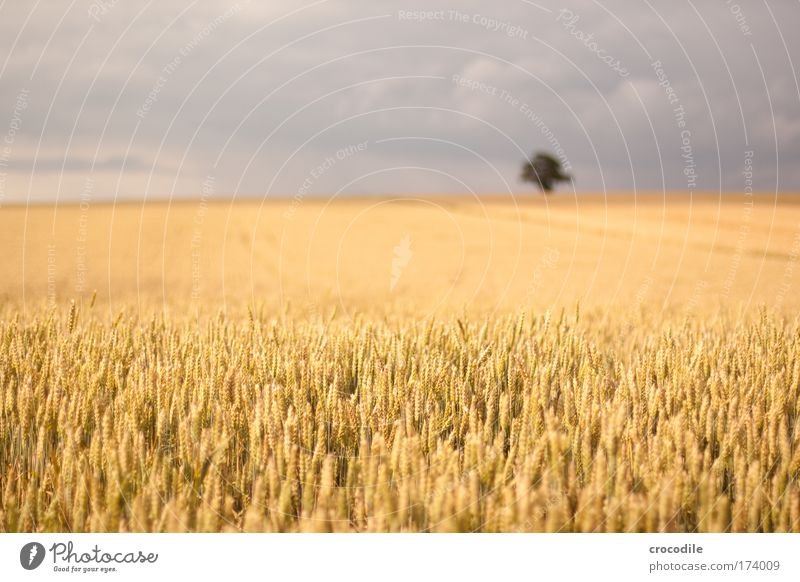 Nature Cornfield Sky Tree Plant Summer Joy Clouds Landscape Grain Contentment Field Wind Weather Environment Esthetic