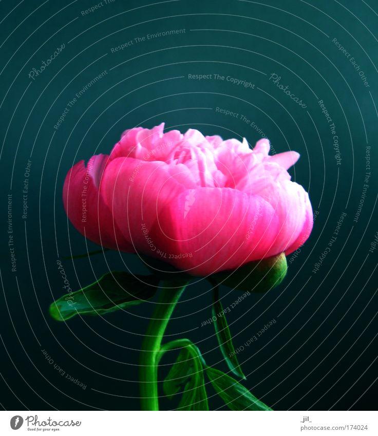 Beautiful Flower Green Blue Plant Life Style Blossom Pink Elegant Esthetic Round Romance Uniqueness Joie de vivre (Vitality) Serene