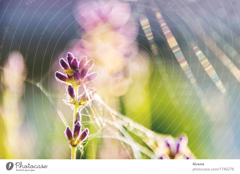 spun Plant Summer Beautiful weather Flower Lavender Cobwebby Illuminate Esthetic Bright Gold Violet Pink Happy Warm-heartedness Uniqueness Eternity Flare