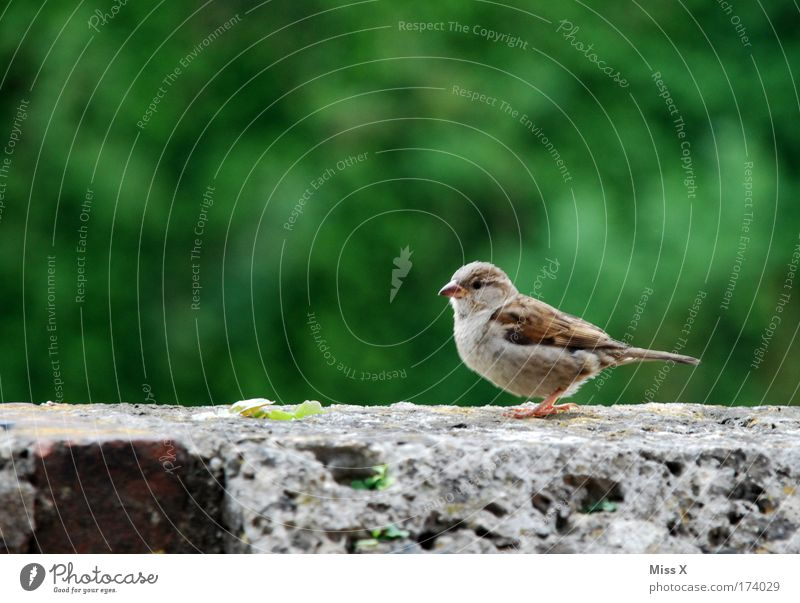 Sweet sparrow Exterior shot Close-up Detail Deserted Looking into the camera Environment Nature Spring Summer Animal Bird Wing 1 Baby animal Rutting season