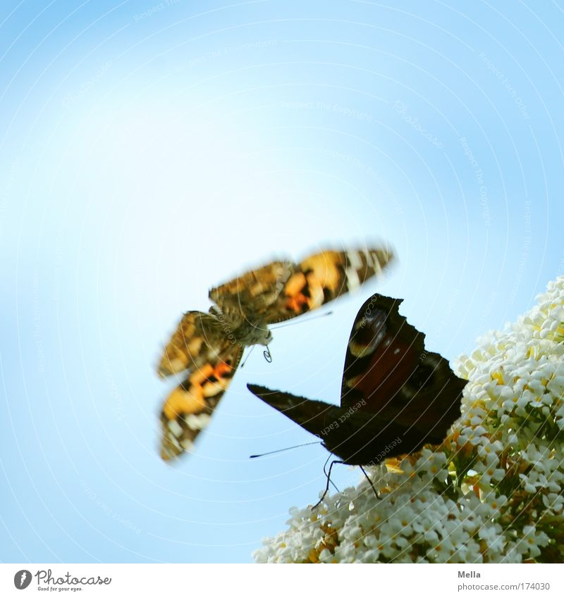 Move it, I'm coming! Environment Nature Plant Animal Sky Blossom Park Wild animal Butterfly Painted lady Peacock butterfly 2 Flying Elegant Free Beautiful