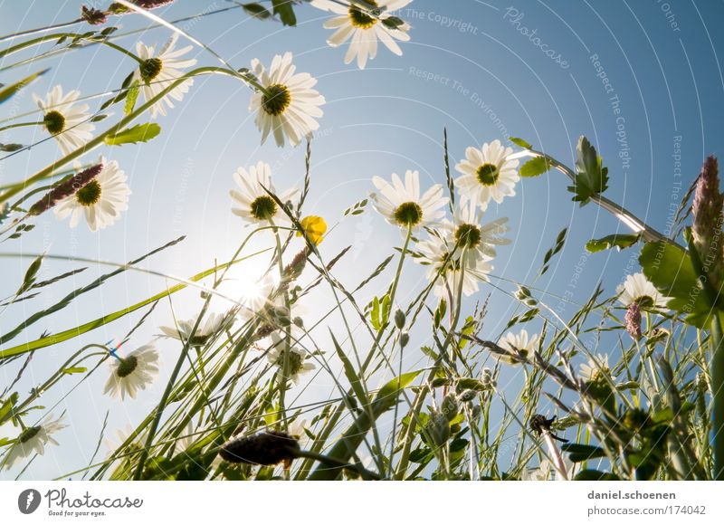 ant's perspective Subdued colour Sunlight Sunbeam Back-light Plant Cloudless sky Summer Flower Grass Meadow Esthetic Blue Green White Perspective Environment