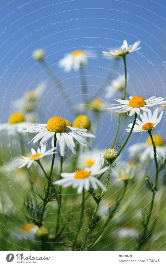 chamomile Colour photo Multicoloured Exterior shot Copy Space top Copy Space bottom Neutral Background Day Sunlight Central perspective Long shot Beautiful