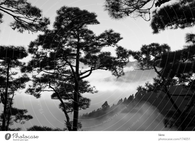 Tree Clouds Forest Mountain Landscape Fog Hill Pine Gorgeous Twigs and branches Canaries Spain Shroud of fog La Palma Patch of fog Misty atmosphere