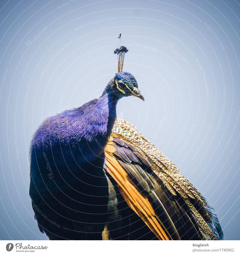 Blue Beautiful Animal Bird Gold Sit Curiosity Exotic Peacock