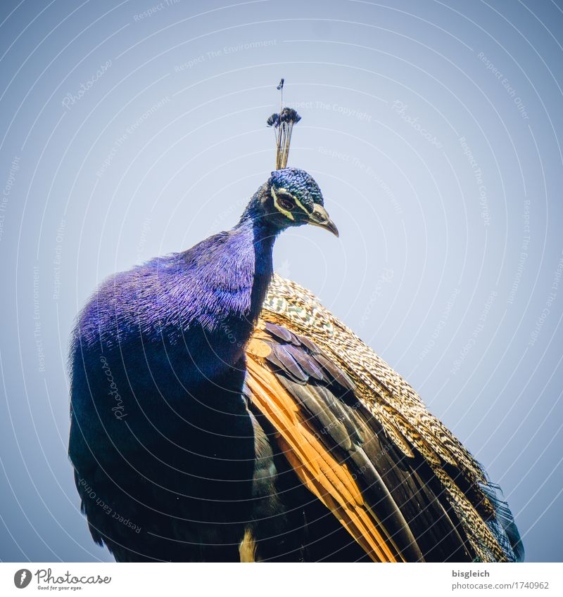 peacock Animal Bird Peacock 1 Looking Sit Curiosity Beautiful Blue Gold Exotic Colour photo Exterior shot Day Animal portrait