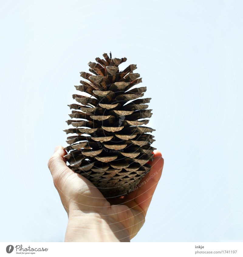 Corsican pine cone Hand Sky Cone Pine cone To hold on Authentic Simple Large Brown Nature Growth Change Discovery Indicate Open Bright background Colour photo