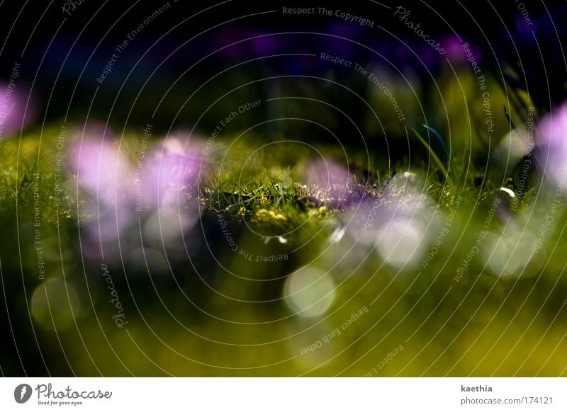 glamour-grass Nature Plant Flower Blossom Meadow Fragrance Illuminate Exotic Green Violet Spring Grass Glittering Glimmer Hide Bright Summer Lens flare
