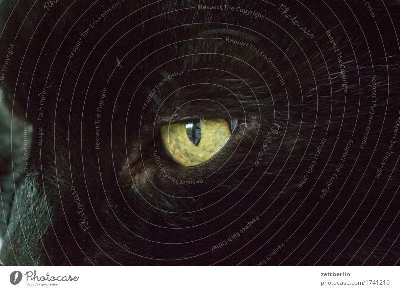 Cat Animal Black Eyes Pelt Facial hair Concentrate Pet Domestic cat Moustache Beard hair Cat eyes
